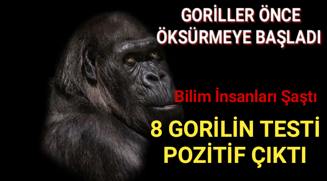 Hayvanat Bahçesinde Gorillerin Korona Testi Pozitif Çıktı